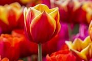 Сотни тысяч тюльпанов растут в двух итальянских весенних садах. // tulipani-italiani.it